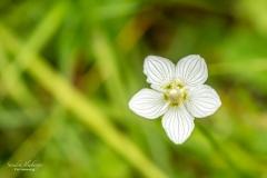 Weißes Sumpf-Herzblatt